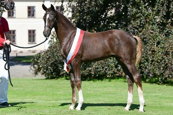 Dressage Colt Foal of the Year: Grand Quest-Bell by Grand Galaxy Win x Blue Hors Don Romantic.